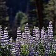 Field Of Summer Wildflowers Backlit Lupine  Art Print