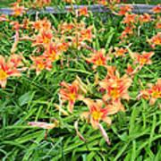 Field Of Tiger Lilies Art Print