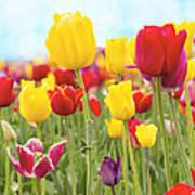 Field Of Tulip Flowers Against Blue Sky Art Print