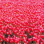 Fields Of Tulips Alkmaar Vicinity Art Print