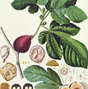 Fig Engraved By Johann Jakob Haid  Art Print