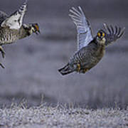 Fighting Prairie Chickens Art Print by Thomas Young