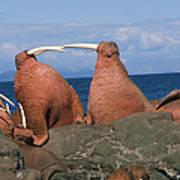 Fighting Walrus Art Print