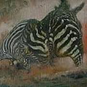 Fighting Zebras Art Print