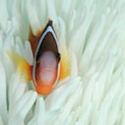 Fiji Anemone Fish (amphiprion Barberi Art Print