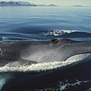 Fin Whale In Sea Of Cortez Art Print
