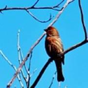 Finch On Branch 031015a Art Print