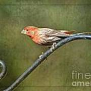 Finch On Guard I Art Print