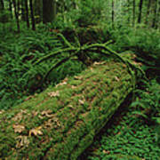 Fir Nurse Log In Rainforest Pacific Art Print
