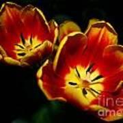 Fire Tulip Flowers Art Print
