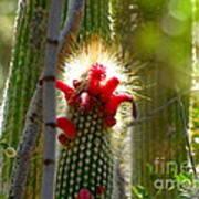 Firecracker Cacti Art Print