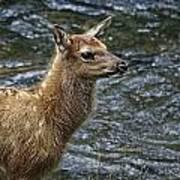 Firehole River Elk Fawn Art Print