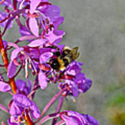 Fireweed Bee Art Print