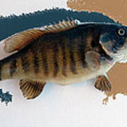 Fish Mount Set 10 Cc Art Print