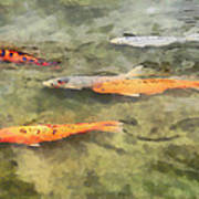 Fish - School Of Koi Art Print by Susan Savad
