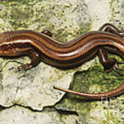 Five-lined Skink Art Print