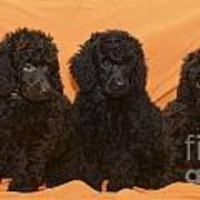 Five Poodle Puppies  Art Print