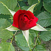 Five Star Red Rose Art Print