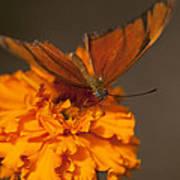 Flambeau Butterfly Art Print