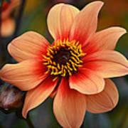 Flamboyant Dahlia. Art Print