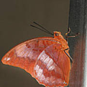 Flame-bordered Charaxes Butterfly #3 Art Print