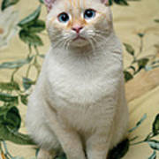 Flame Point Siamese Cat Art Print