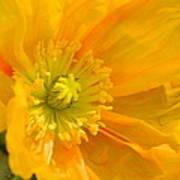 Flaming Yellow Poppy  Art Print