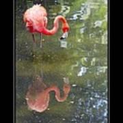Flamingo Reflected Art Print
