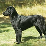 Flat-coated Retriever Dog Art Print