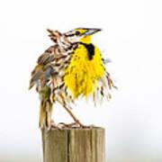 Flluffy Meadowlark Art Print
