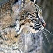 Florida Bobcat Art Print