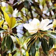 Florida Magnolia Art Print