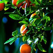 Florida Oranges Art Print