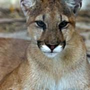 Florida Panther, Endangered Art Print
