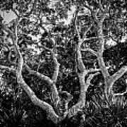 Florida Scrub Oaks Bw   Art Print