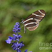 Florida State Butterfly Art Print