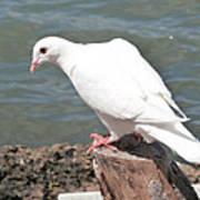 Florida White Pigeon Art Print