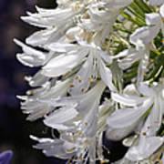 Flower-agapanthus-white-flora Art Print