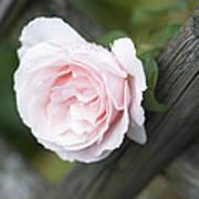 Flower Among The Fence Art Print