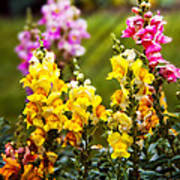 Flower - Antirrhinum - Grace Art Print by Mike Savad