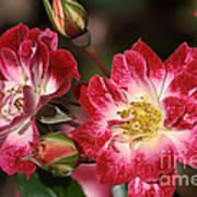 Flower-cream-pink-red-rose Art Print