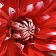Flower- Dahlia-red-white Art Print