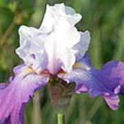 Flower Garden Iris Blooming Art Print