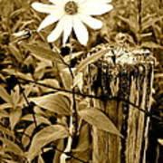 Flower In Sepia Art Print