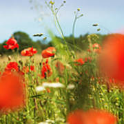 Flower Meadow In Summer With Red Poppy Art Print