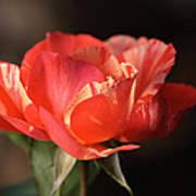 Flower-tri Toned-rose Art Print