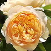 Flower-yellow Roses Art Print