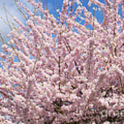 Flowering Cherry Tree Art Print