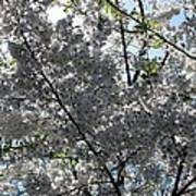 Flowering Cherry - White Art Print