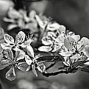 Flowering Crabapple 2 Bw Art Print